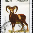 POLAND - CIRCA 1986 Argali — Stock Photo