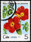 CUBA - CIRCA 1975 Red Rose — Stock Photo