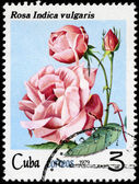 CUBA - CIRCA 1979 Rose — Stock Photo