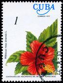 CUBA - CIRCA 1977 Hibiscus — Stock Photo