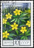 USSR - CIRCA 1975 Yellow Anemone — Stock Photo