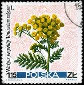POLAND - CIRCA 1967 Tansy — Stock Photo