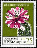 BULGARIA - CIRCA 1980 Echinocereus — Stock Photo