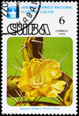 CUBA - CIRCA 1978 Opuntia — Stock Photo