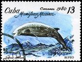 CUBA - CIRCA 1980 Beaked Whale — Stock Photo