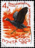 USSR - CIRCA 1976 Coot — Stock Photo
