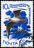 USSR - CIRCA 1976 Slender-billed Gull — Stock Photo