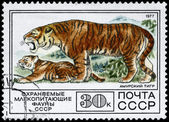 USSR - CIRCA 1977 Tiger — Stock Photo