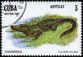CUBA - CIRCA 1982 Alligator — Stock Photo