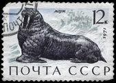 USSR - CIRCA 1971 Walrus — Zdjęcie stockowe