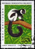 MALAGASY - CIRCA 1983 Ruffed Lemur — Stock Photo