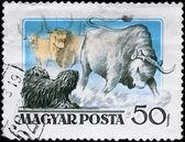 HUNGARY - CIRCA 1956 Puli and Steer — Stock Photo
