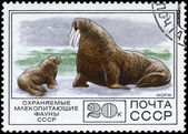 USSR - CIRCA 1977 Walrus — Stock Photo