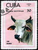 CUBA - CIRCA 1973 Brahman — Stock Photo