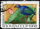 USSR - CIRCA 1968 Swamphen — Stock Photo
