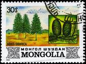 MONGOLIA - CIRCA 1982 Siberian Spruce — Stock Photo