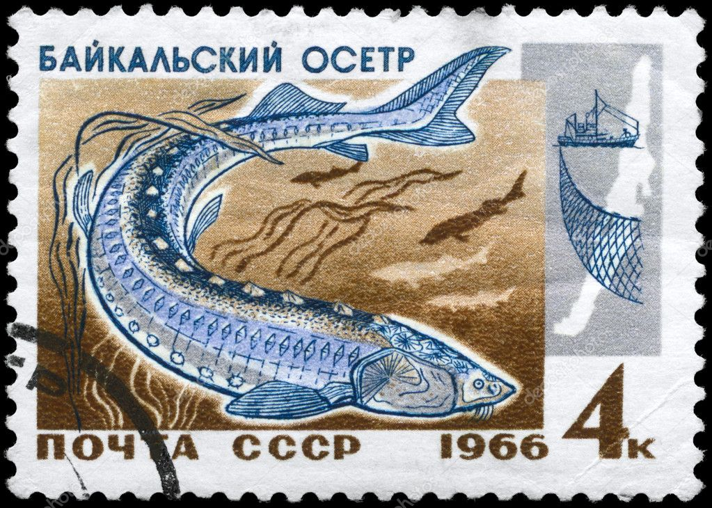 USSR - CIRCA 1966: A Stamp printed in USSR shows image of a Sturgeon from the series Fish resources of Lake Baikal, circa 1966 — Stock Photo #6264000