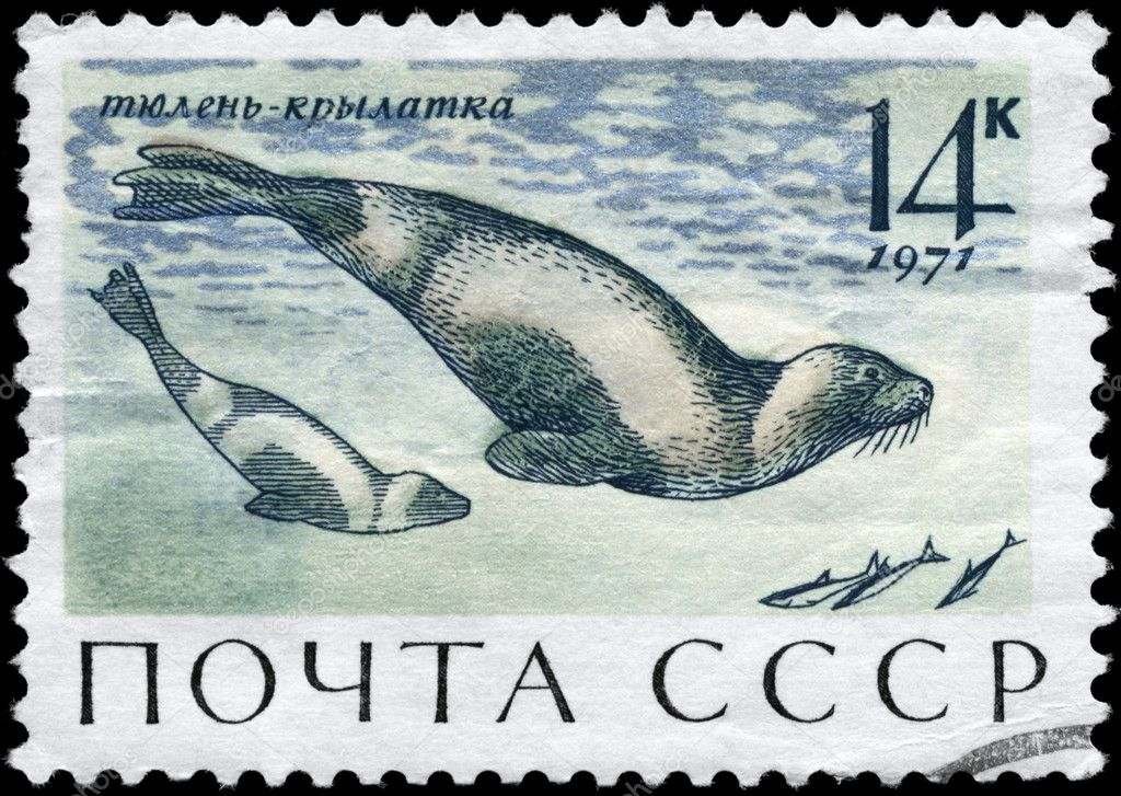 USSR - CIRCA 1971: A Stamp printed in USSR shows image of a Ribbon Seals from the series Sea Mammals, circa 1971  Stock Photo #6264007