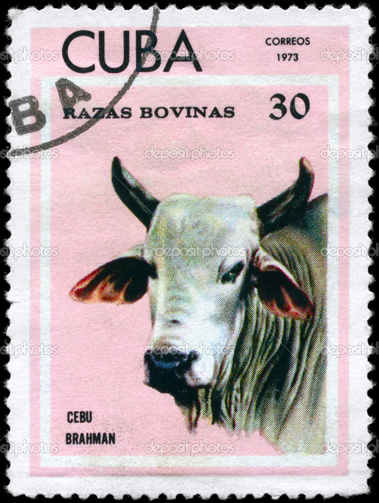 CUBA - CIRCA 1973: A Stamp printed in CUBA shows image of a Cow Cebu Brahman from the series Thoroughbred Cows, circa 1973 — Stock Photo #6268962
