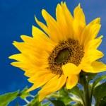 Sunflower — Stock Photo #5787581
