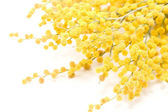 Mimosa — Foto Stock