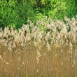 Grass bloom in nature with sunlight - Stock Photo