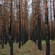 Stock Photo: Burned pine forest