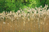 Grass bloom in nature with sunlight — Stock Photo