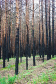 Burned pine forest — Stock Photo