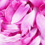 Peony petals pile — Stock Photo