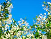 Rahmen der kirschblüte gegen den blauen himmel — Stockfoto