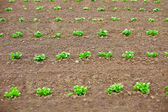 Young potato shoots in on spring tillage — Stock Photo
