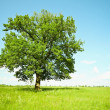 Old oak tree on green meadows — Stock Photo