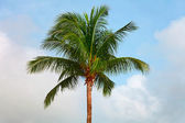 Top of a coconut tree on sky background — Stock Photo