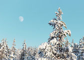 Pine in winter northern forest — Stock Photo