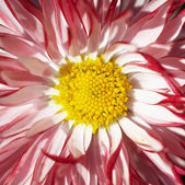 Fleur rouge avec le milieu jaune — Photo