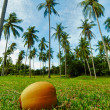 Coconut lying on grass under palm — Foto de stock #6350171