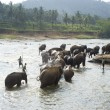Elephants bathing - Stok fotoğraf