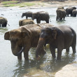 Elephants bathing — Stock Photo