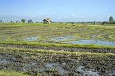 Rice field — Stockfoto