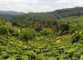 Plantaition de thé — Photo