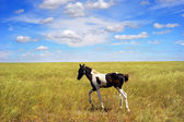 Foal in the field — Stock Photo