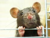 搞笑的老鼠 — 图库照片
