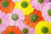 Gerbera blomma — Stockfoto