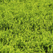 Green lawn — Stock Photo #5552983