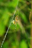 паук на зеленый — Стоковое фото