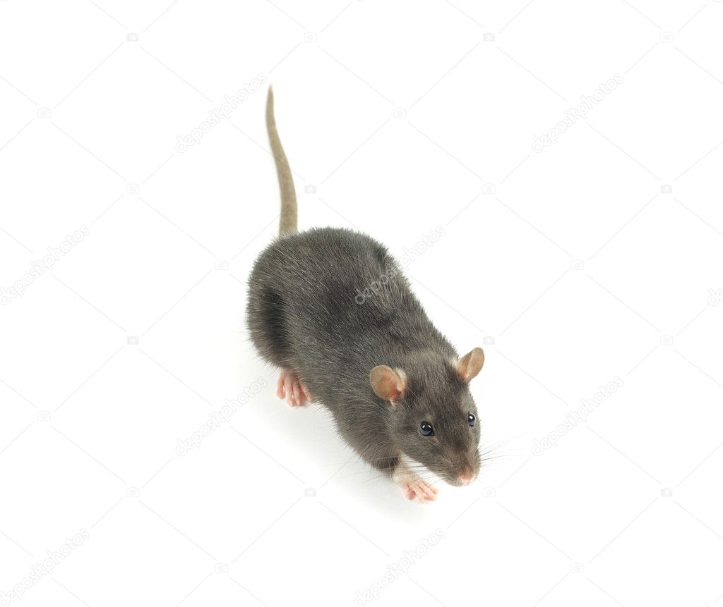 Rat  isolated on white background  Stock Photo #5552517