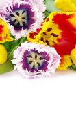 Tulipes sur blanc — Photo