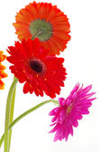 Colorful flowers gerberas — Stock Photo