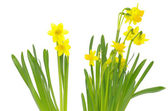 Narcissus on a white — Foto Stock